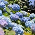 紫陽花咲く、長谷!130531