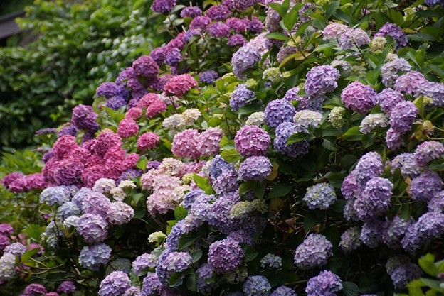 七変化の極楽寺紫陽花!130615