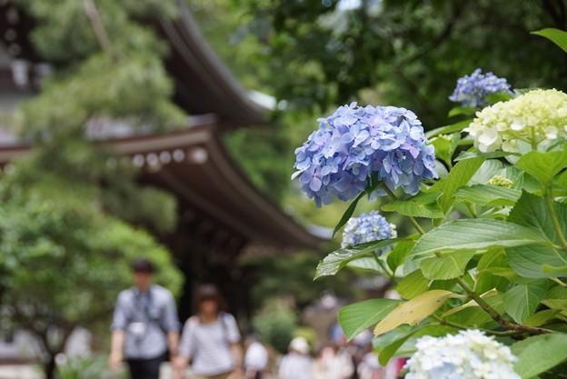 仏殿と紫陽花130622-153