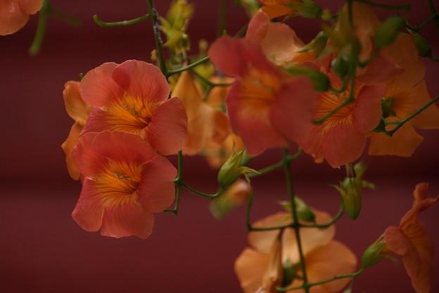 朱色のノウゼンカズラの花!妙本寺130715