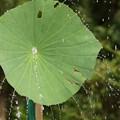 写真: 蓮のシャワー130720-366