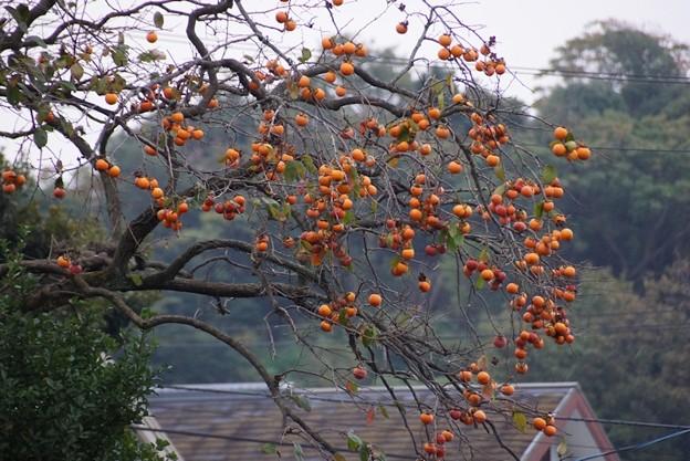 柿の実がいっぱい131102-585