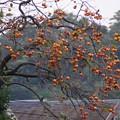 Photos: 柿の実がいっぱい131102-585