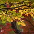 写真: 黄葉の黄葉131109-359