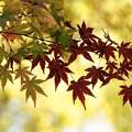 Photos: 紅葉が50%です!131116