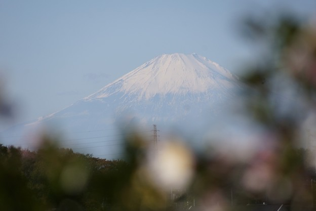 Photos: 富士山とサザンカ131123-108