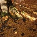 写真: 散り銀杏のジュータン!131201