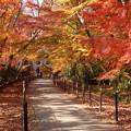 写真: 紅葉の参道!131202