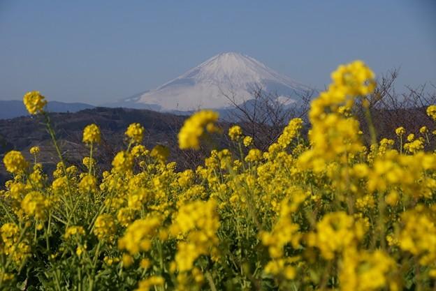 富士山と菜の花2!140102