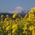 写真: 富士山と菜の花2!140102