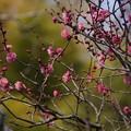 写真: 寒紅梅咲く東慶寺!140201