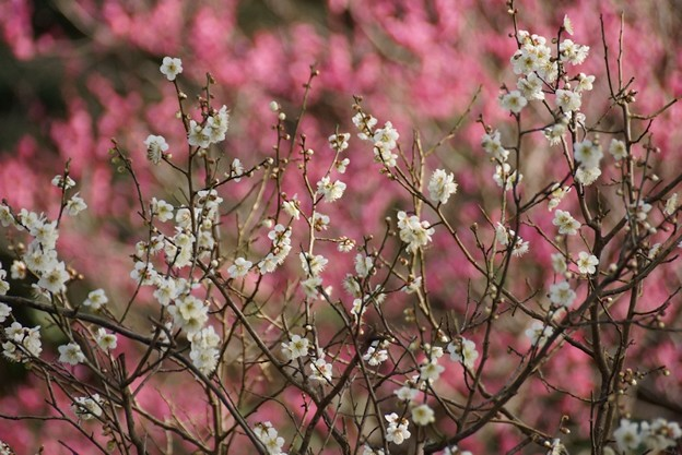 写真: 紅白の梅が競演!140201
