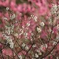Photos: 紅白の梅が競演!140201
