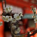 写真: 白梅咲く本殿前!140201