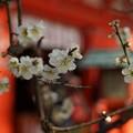 Photos: 白梅咲く本殿前!140201