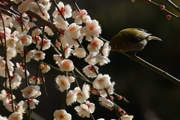 写真: メジロと枝垂れ梅!140222
