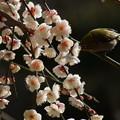 Photos: メジロと枝垂れ梅!140222