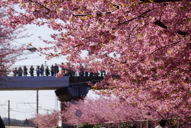 河津桜と歩道橋の人!140304