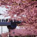 写真: 河津桜と歩道橋の人!140304