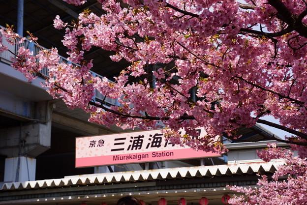 三浦海岸駅桜まつり!140304