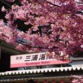 写真: 三浦海岸駅桜まつり!140304