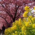 菜の花と河津桜!140304