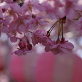 Photos: 河津桜とぼんぼり!140304