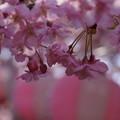 河津桜とぼんぼり!140304