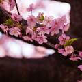 Photos: 河津桜まつり8!140304