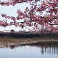 Photos: 河津桜と池!140304