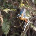 写真: カワセミ飛翔!1403085