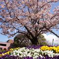 写真: 早咲きの玉縄桜が満開!140321