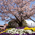 Photos: 早咲きの玉縄桜が満開!140321