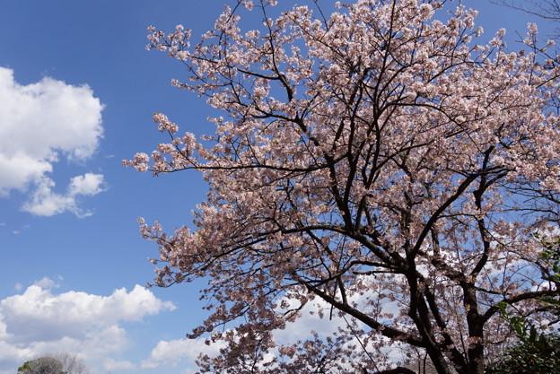 満開の桜と白い雲!140321