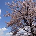 Photos: 満開の桜と白い雲!140321