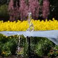 写真: 噴水と桜と菜の花!140321