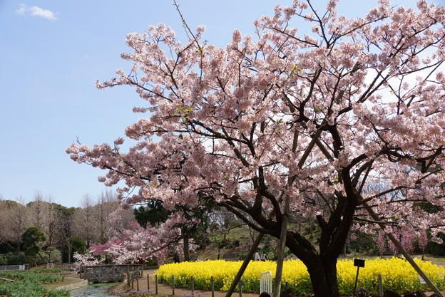 玉縄桜が満開2!140321