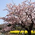 写真: 玉縄桜が満開2!140321