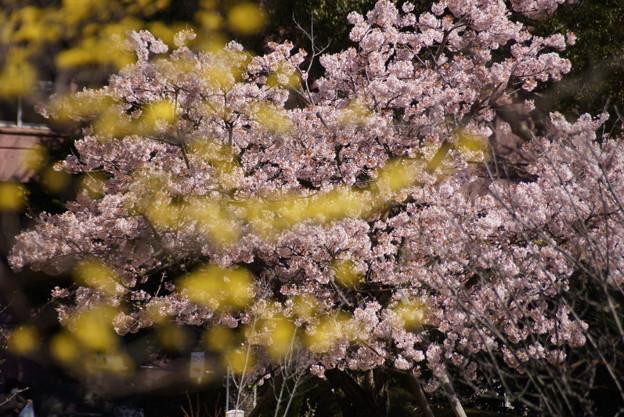 写真: サンシュと早咲き桜!140321