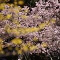 サンシュと早咲き桜!140321