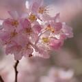 写真: 春めきの淡いピンク!140321