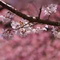 写真: 春めきの桜2!140321