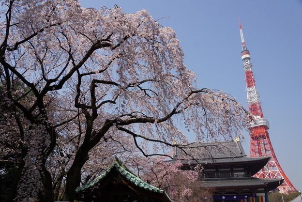 満開の枝垂れ桜とタワー!