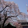 写真: 満開の枝垂れ桜とタワー!