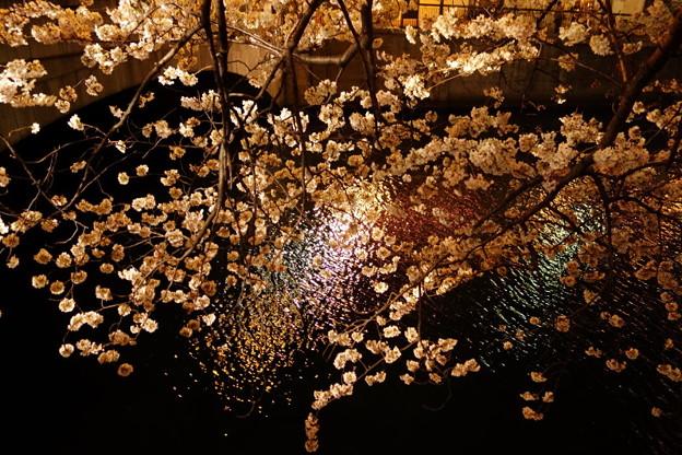 川面に映る桜!