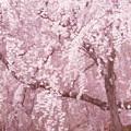 sakura色の季節 京の桜百景