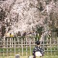 京都御苑の桜 京の桜百景