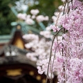 平野神社2 京の桜百景
