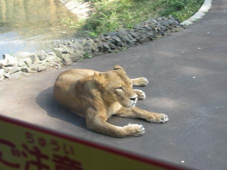 ライオン・2