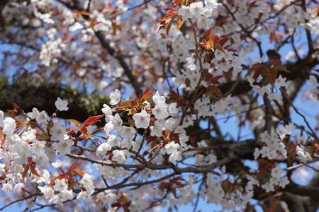 三多気の桜 - 05